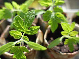 Как вырастить рассаду помидоров в домашних условиях?5c5b61da89202