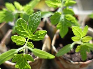 Как вырастить рассаду помидоров в домашних условиях?5c627e13d1736